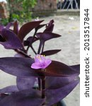 Purple Heart Or Spiderwort Or...