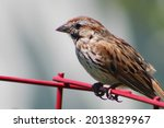 A Song Sparrow Perched On The...