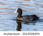 Eurasian Coot Swims On The Lake