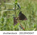 Mating Breeding Pair Of Horace...