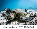 Green Sea Turtles Are...