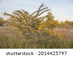 Acacia Tree In Flower. One Of...