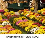 Rows Of Potted Mums For Sale A...