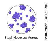 bacteria staphylococcus aureus... | Shutterstock .eps vector #2014713581