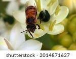 Detail Of An African Honey  Bee ...