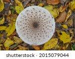 Fungus Macrolepiota Procera...