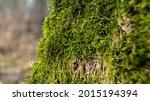 fine green moss growing on tree ...   Shutterstock . vector #2015194394