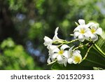 white plumeria flower with... | Shutterstock . vector #201520931