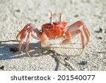 Galapagos Painted Ghost Crab ...