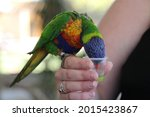 Parrot Being Fed Nectar From Cup