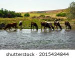 Cows And Foal At The Watering...