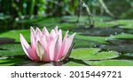 Pink Water Lily  Nymphaea  From ...