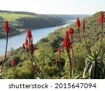Aloes Flowering In Foreground...