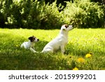 Jack And Parson Russell At...