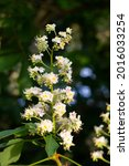 Small photo of Basswood flowers on tree with foliage. Linden blooming flowers on lime-tree. Blossoming teil with detail on flowers. Flowering lime. Whitewood tree with florid flowers. Blossoming American basswood.