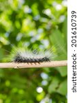 Small photo of Knot Grass moth caterpillar - Acronicta rumicis on bark.