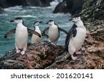 Gentoo penguins (Pygoscelis antarctica) climb a rocks in the South Shetland Islands to get to their nesting colony. This species feeds on Antarctic krill, fish, and squid, and live from 15-23 years.