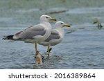 Standing Pair Of Gulls. Danube...