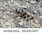Female Common Whitetail...