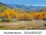 Cluster Of Aspen Trees In The...