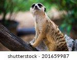 meerkat  surikate  in zoo | Shutterstock . vector #201659987