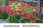 rudbeckia. the species are... | Shutterstock . vector #2016909221