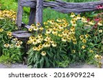 rudbeckia. the species are... | Shutterstock . vector #2016909224