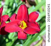 daylily is a flowering plant in ... | Shutterstock . vector #2016910241