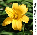 daylily is a flowering plant in ... | Shutterstock . vector #2016910244