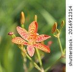 iris domestica or leopard lily  ... | Shutterstock . vector #2016912314
