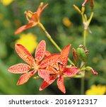 iris domestica or leopard lily  ... | Shutterstock . vector #2016912317