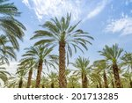High Figs Date Palm Trees In...