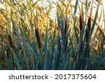 Bulrush  Cattail  Typha Plants...