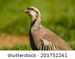 Small photo of Closeup of Chukar (Alectoris chukar) with head tilted as if curious in Kodachrome Basin State Park