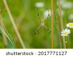 Large Wasp Spider Sits On A Web ...