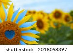 Sunflower with blue heart shaped center, yellow and blue petals. National flag colors. Love Ukraine concept. Independence day of Ukraine flag day constitution day
