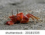 Small photo of Red ghost crab Ocypode species. The ghost crab deserved its name by its speeds. When it spots an enemy or threat it'ill dive into its hole in the sand swifter then the light.