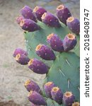 Paddle Cactus  Or Nopal  With A ...