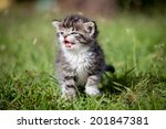 grey tabby kitten on green grass | Shutterstock . vector #201847381