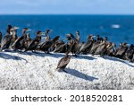 Group of sea cormorants sits on a flat cliff against the background of the sea. Colony of diving waterfowl - large sea cormorants in southern Africa,