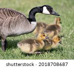 Canadian Goose With Gosling...