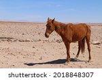 Wild Straving Horses Of Aus....