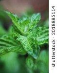 Lush Green Spearmint Plant...