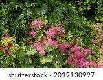 Summer Flowering Feathery...
