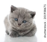 Stock photo british short hair kitten isolated on white 201938671