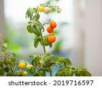 Unripe And Ripe Small Tomatoes...