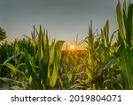 Corn Field By Sunset Sun With ...