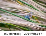 Ventral View Of A Common Blue...