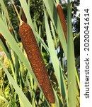 Bullrush Reeds After Bloom....