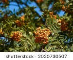 Ripe red orange rowan berries...
